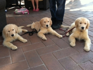 abc-golden-retrievers
